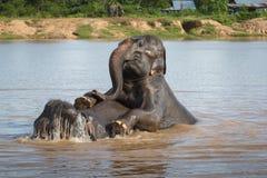 Nuoto dell'elefante Immagini Stock