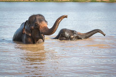 Nuoto dell'elefante Fotografia Stock