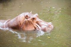 Nuoto dell'ippopotamo Fotografie Stock Libere da Diritti