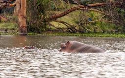 Nuoto dell'ippopotamo Fotografia Stock