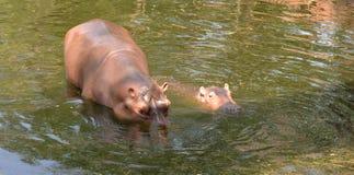 Nuoto dell'ippopotamo Fotografia Stock Libera da Diritti