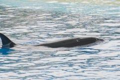 Nuoto dell'orca Fotografie Stock