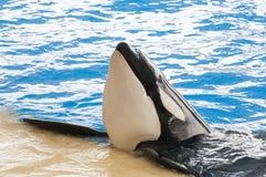 Nuoto dell'orca Fotografie Stock Libere da Diritti