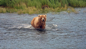 Nuoto dell'orso Fotografie Stock Libere da Diritti