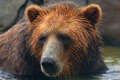 Nuoto dell'orso di Brown Fotografie Stock Libere da Diritti