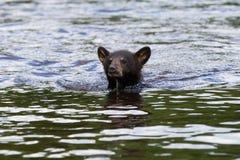 Nuoto dell'orso nero attraverso l'insenatura Immagini Stock Libere da Diritti