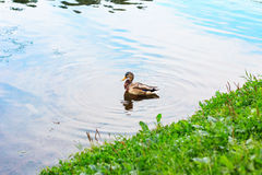 Nuoto dell'uccello dell'anatra nel lago Germano reale selvaggio Fotografia Stock