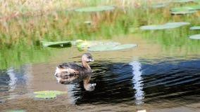Nuoto del giovane uccello Fotografia Stock