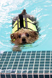 Nuoto dell'Yorkshire terrier Immagine Stock