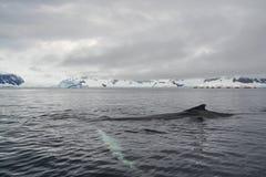 Nuoto della balena attraverso le acque antartiche fotografia stock libera da diritti