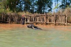Nuoto della Buffalo in acqua fresca Immagine Stock