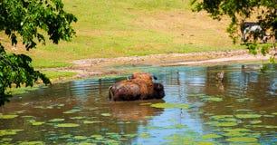 Nuoto della Buffalo nello stagno Fotografia Stock Libera da Diritti