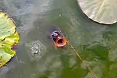 Nuoto della carpa Fotografia Stock Libera da Diritti