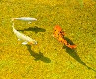 Nuoto della carpa di Koi Immagini Stock Libere da Diritti