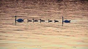 Nuoto della famiglia dei cigni dal mare stock footage