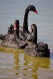 Nuoto della famiglia del cigno immagini stock