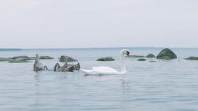 Nuoto della famiglia del cigno nel lago nella riserva naturale e nell'alimento di cibo dagli ospiti Mar Baltico stock footage