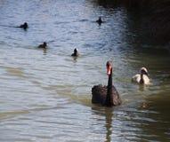 Nuoto della famiglia del cigno nero - Perth Australia fotografie stock libere da diritti