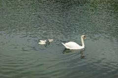 Nuoto della famiglia del cigno su un lago fotografie stock libere da diritti