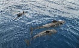 Nuoto della famiglia del delfino nell'Oceano Atlantico Fotografia Stock