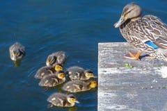 Nuoto della famiglia dell'anatroccolo in acqua con la madre Fotografie Stock
