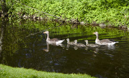 Nuoto della famiglia dell'oca Immagine Stock
