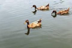 nuoto della famiglia delle anatre ed alimento di ricerca su acqua Immagini Stock