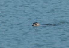 Nuoto della guarnizione comune nel porto Fotografia Stock Libera da Diritti