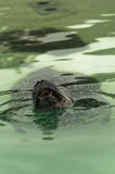Nuoto della guarnizione di porto di Atlantico del Nord in un'acqua e nei teeths di rappresentazione mentre sbadigliando Fotografia Stock