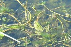 Nuoto della rana verde nell'acqua delle alghe Fotografie Stock Libere da Diritti