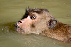 Nuoto della scimmia alla foresta della mangrovia Fotografia Stock