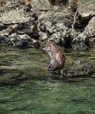 Nuoto della scimmia e sedersi su una roccia fotografie stock