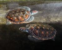 Nuoto della tartaruga di mare due in uno stagno Fotografia Stock Libera da Diritti