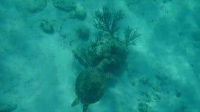 Nuoto della tartaruga di mare nelle barriere coralline maya di mare caraibico, Riviera video d archivio