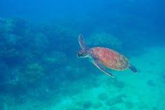 Nuoto della tartaruga di mare subacqueo Foto subacquea esotica della tartaruga marina Animale oceanico in natura selvaggia immagine stock