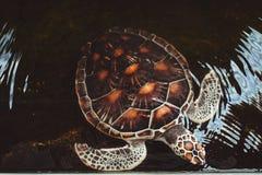 Nuoto della tartaruga di mare in uno stagno Fotografia Stock
