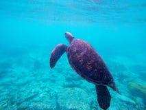 Nuoto della tartaruga di mare verde in barriera corallina Fotografia Stock Libera da Diritti