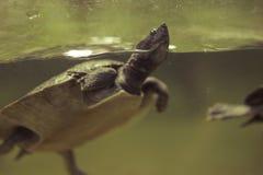 Nuoto della tartaruga nell'acqua immagini stock
