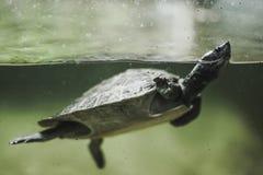 Nuoto della tartaruga nell'acqua fotografie stock libere da diritti