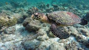 Nuoto della tartaruga in una barriera corallina archivi video