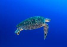 Nuoto della tartaruga verde in acqua blu Fotografia Stock Libera da Diritti
