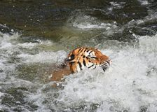 Nuoto della tigre dell'Amur del siberiano in acqua Fotografia Stock