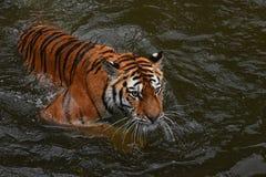 Nuoto della tigre dell'Amur del siberiano in acqua Fotografie Stock Libere da Diritti