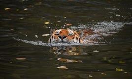 Nuoto della tigre dell'Amur del siberiano in acqua Immagini Stock Libere da Diritti