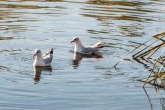 Nuoto delle coppie dell'uccello nel lago nel parco di Campbell in autunno Fotografia Stock Libera da Diritti