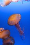 Nuoto delle meduse Immagini Stock