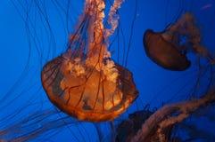 Nuoto delle meduse in carro armato Immagini Stock Libere da Diritti