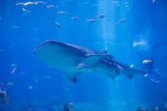 Nuoto dello squalo balena Fotografia Stock Libera da Diritti