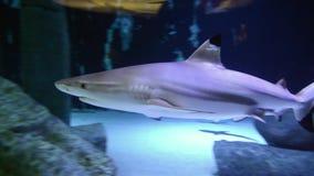 Nuoto dello squalo nell'acqua di mare Squalo della scogliera di Blacktip Squalo in acquario del mare Vita di mare video d archivio