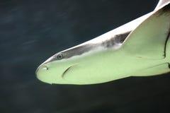 Nuoto dello squalo subacqueo Fotografia Stock Libera da Diritti